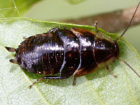 ゴキブリの幼虫図鑑