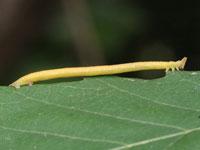 ヒメツバメアオシャクの幼虫