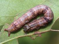 ヒナシャチホコの幼虫