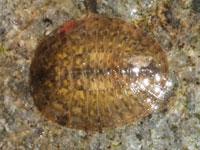 マルヒラタドロムシ属の一種の幼虫