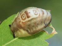 ヒロズイラガの幼虫