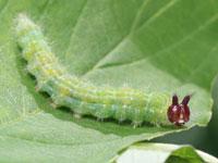 ヒトツメカギバの幼虫