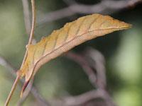 ホシホウジャクの幼虫
