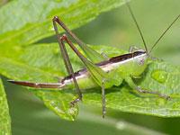 ホシササキリの幼虫