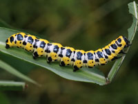 ホソバセダカモクメの幼虫