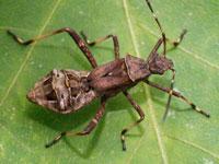 カメムシの幼虫図鑑 ヘリカメムシ科他