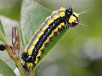 ホタルガの幼虫