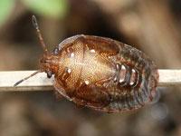 イネクロカメムシの幼虫