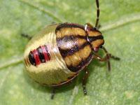 イチモンジカメムシの幼虫