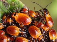 ジュウジナガカメムシの幼虫