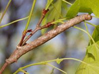 カバエダシャクの幼虫