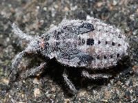 カイガラツヤカスミカメの幼虫