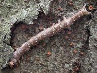 カキバトモエの幼虫