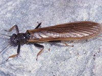 カミムラカワゲラ属の一種