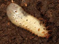 カナブンの幼虫