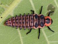 カメノコテントウの幼虫