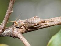 カネタタキの幼虫
