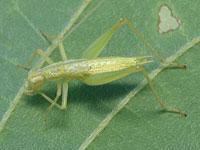 カンタンの幼虫