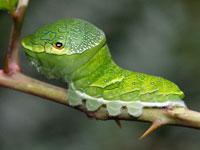 カラスアゲハの幼虫