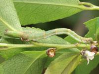 カザリツマキリアツバの幼虫