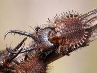 キバネツノトンボの幼虫