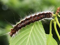 キバラケンモンの幼虫
