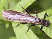 トウゴウカワゲラ属の一種