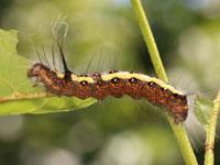 キハダケンモンの幼虫