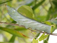 キイロスズメの幼虫