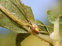 キンヨウグモ