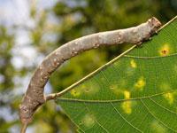 キオビゴマダラエダシャクの幼虫