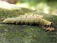 キシタバの幼虫