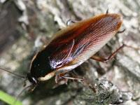 キスジゴキブリ