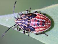 キタヒメツノカメムシの幼虫