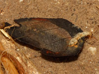 コバントビケラ属の一種の幼虫