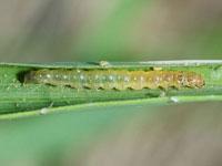 コブノメイガの幼虫