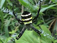 クモ(蜘蛛)の図鑑