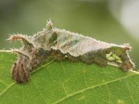 コミスジの幼虫