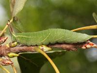 コムラサキの幼虫