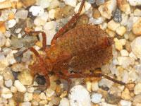 コオニヤンマの幼虫