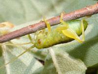 コロギスの幼虫