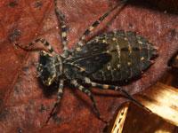 コシアキトンボの幼虫