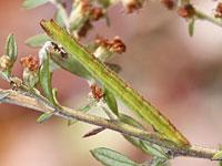コウスアオシャクの幼虫