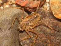 コヤマトンボの幼虫