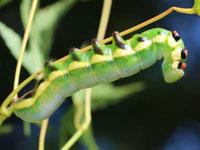 クビワシャチホコの幼虫