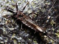 ツノオオアザミウマ属の一種