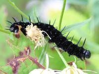 クジャクチョウの幼虫