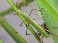 クモヘリカメムシの幼虫