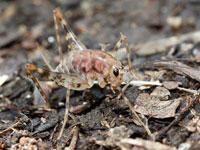 クラズミウマの幼虫