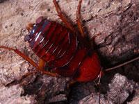 クロゴキブリの幼虫